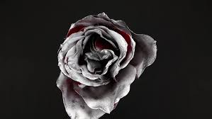 silver roses slowly revolving silver flower with black background stock