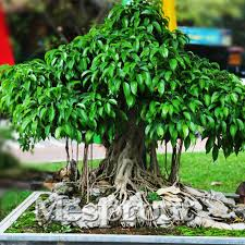 aliexpress buy beautifying ficus religiosa seeds 5pcs