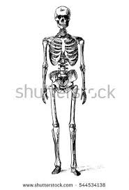 drawn skeleton front pencil and in color drawn skeleton front