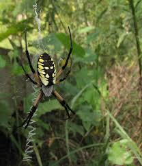 bug eric spider sunday dewdrop spiders