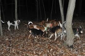 bluetick coonhound treeing ukc forums x bred forum