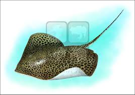 leopard ray himantura leoparda line art and full color illustrations