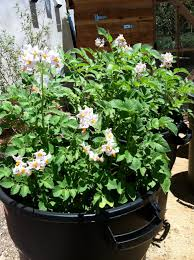 flowers for vegetable garden how to grow potatoes in a trash can hope gardens