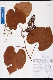 Canopy Synonyms by Vitis Cinerea Var Floridana Species Page Isb Atlas Of