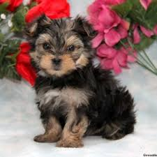 puppies for sale pa morkie yorktese puppies for sale in pa