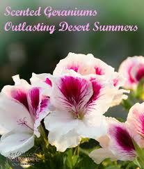 Fragrant Bedding Plants Scented Geraniums Outlasting Desert Summers Jpg