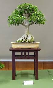 australian native indoor plants 8 best bonsai australian eucalypt gum images on pinterest