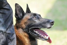 belgian shepherd diesel heroic police dog dies in parisian counter terror operation u2013 dog show