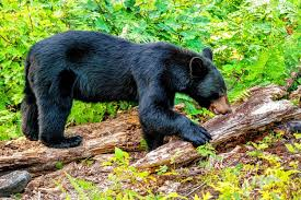 Massachusetts wildlife images Those bears in your backyards aren 39 t going anywhere and their