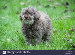 bichon frise jack russell cross temperament bichon frise dog stock photos u0026 bichon frise dog stock images alamy