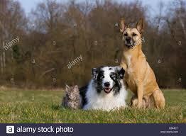 belgian shepherd malinois mix australian shepherd maine coon kitten and malinois mix on a