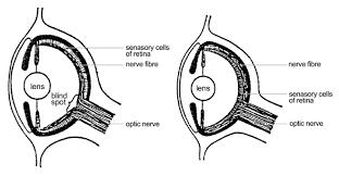 Blind Spot In Eyes Unintelligent Design 2 The Human Eye Unzip Your Genes