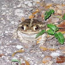 frogs and toads are drought survivors san antonio express news