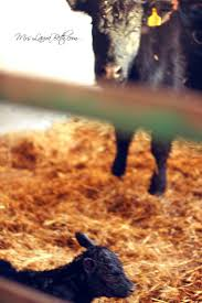 black angus thanksgiving dinner 42 best black angus babies images on pinterest country life