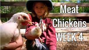 how to raise meat chickens week 4 broilers cornish cross