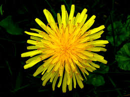 Dandelion Facts Everything You Should Know About Dandelion Youtube