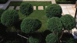 Topiary Cloud Trees - cloud clipped ligustrum jonandrum randle siddeley