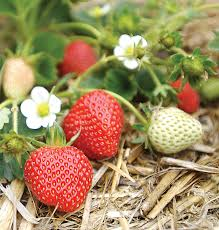 fruit edibles 21 best crops for your edible garden sunset magazine