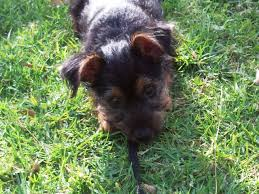 short haired dorkie mixes dorkie information pictures reviews and q a greatdogsite com