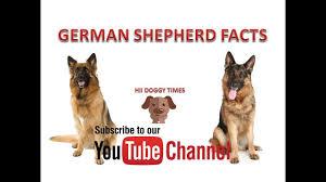 belgian shepherd kinds german shepherd dog facts in hindi hii doggy times youtube