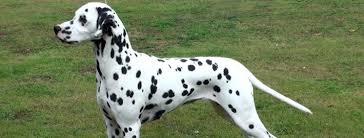 dalmatian breed guide learn dalmatian