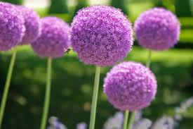 allium flowers allium information from flowers org uk
