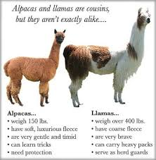 Alpaca Sheep Meme - fancy alpaca sheep meme the difference between alpacas and llamas