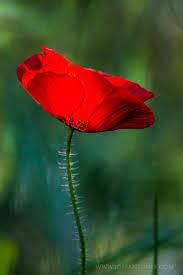 959 best garden poppys klaprozen images on pinterest poppy