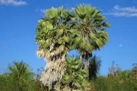 native plants of the northeast copernicia prunifera wikipedia
