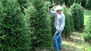 fraser fir christmas tree shearing youtube