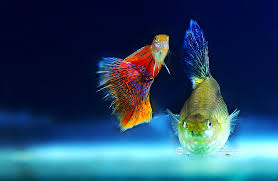 free photo ornamental fish aquarium fish free image on