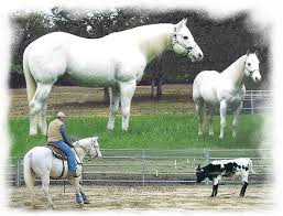 Jake Barnes Team Roping Jackies Gold Bee Gray Quarter Horse Stallion Standing At Cr