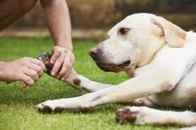 what to do if you cut your dog u0027s nails too short animal hospital