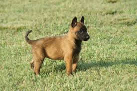 belgian shepherd hair loss the belgian malinois great guards of the white house
