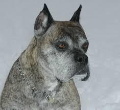 boxer dog breeders near me boxer dog natural history