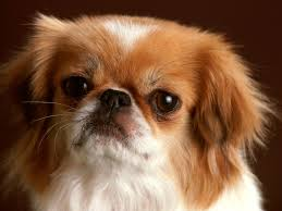 angry little dog photo dogs wallpapers backgrounds