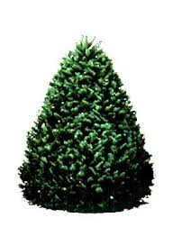 hawaii trees 6 7 ft grand fir tree
