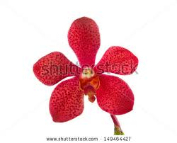 Red Orchids Red Orchid Stock Images Royalty Free Images U0026 Vectors Shutterstock