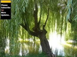 willow tree pics