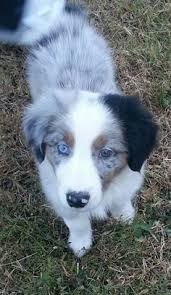 runnin c australian shepherds puppies pinterest australian shepherd posts and cute