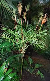 chamaedorea elegans flowering whitelock garden los angeles palm