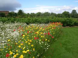 cottage garden and cornfield annual seed mix create a wild