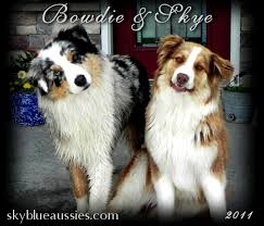 australian shepherd dog for sale australian shepherd puppies for sale nebraska australian shepherds