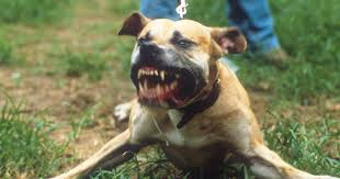 american pitbull terrier uk law nearly 2000 children savaged by dogs every year as attacks soar to
