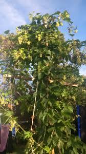 growing hops carnie brewing