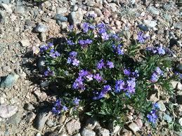 Names Of Purple by Wildflower Wednesday Purple Prairie Verbena Wrenaissance Art