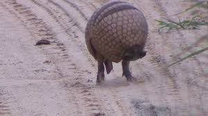 Armadillo Meme - tatu virando bola armadillo rolls into a ball in the wild