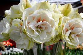 amaryllis flowers jumbo amaryllis bulbs nymph dutchgrown official