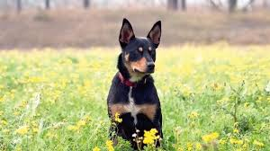 resume template customer service australian kelpie mix puppies homelife a kelpie s journey from rescue dog to role model