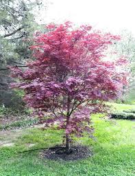 japenese maple tree hixathens com